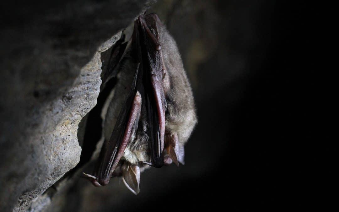 NABU bietet Fledermaus-Dämmerungswanderung