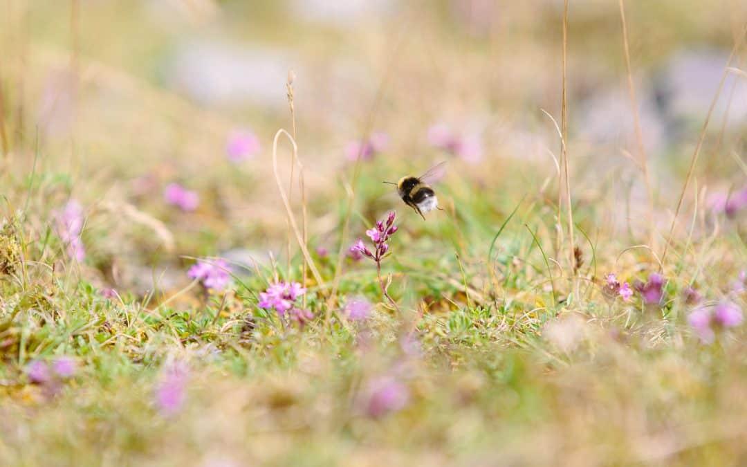 NABU Garbsen informiert über Wildbienen und Hummeln