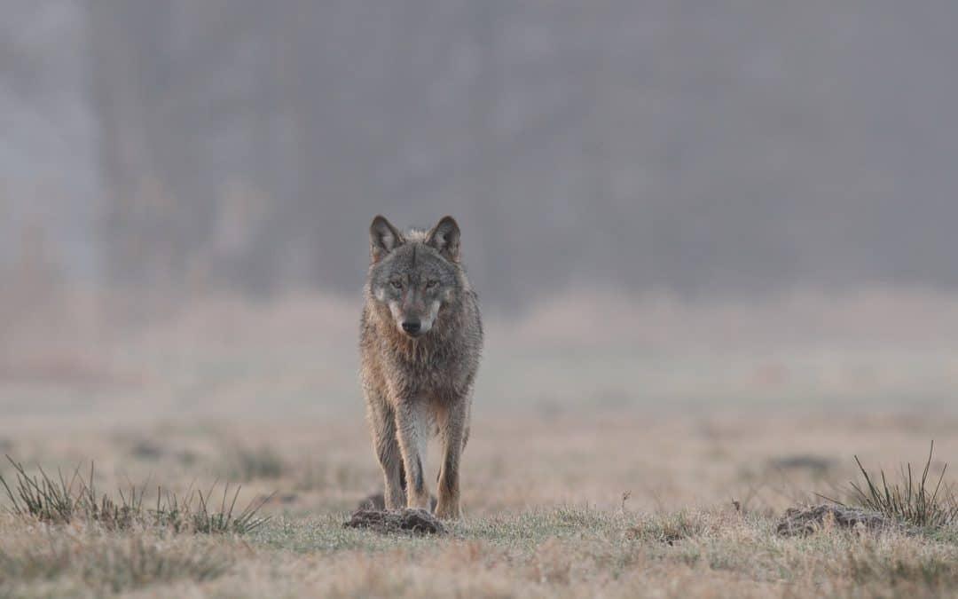 """NABU bittet um Beteiligung bei der Abstimmung zum Thema """"Wolf"""""""