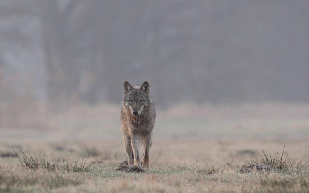 Diskussion über Wolf: Nabu fordert mehr Sachlichkeit