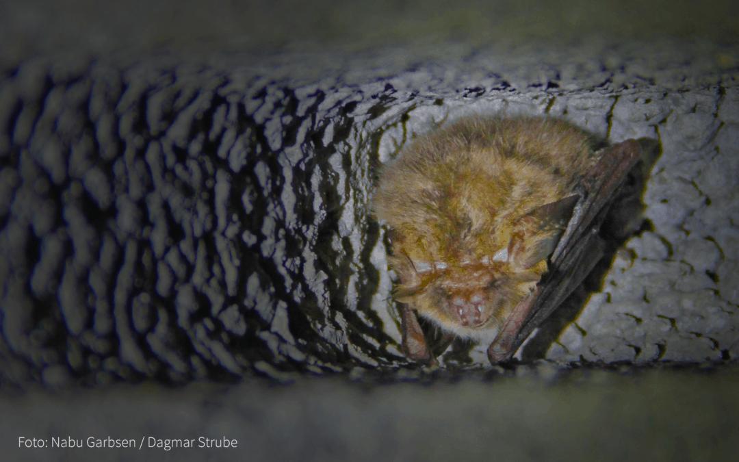 Fledermäuse gehen in den Winterschlaf
