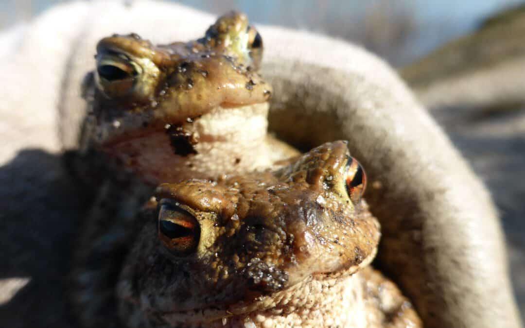 NABU stellt ab 22.02.21 Amphibienschutzzäune auf